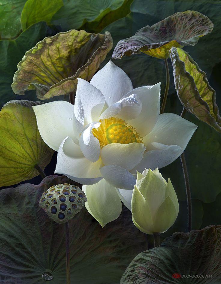 lotus by on deviantart in the garden pinterest lotus. Black Bedroom Furniture Sets. Home Design Ideas