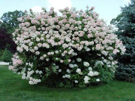 hydrangea paniculatatuff stuff - Google Search