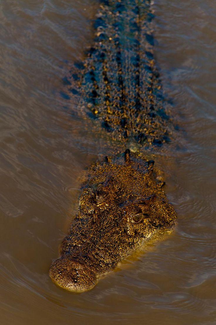Salt water crocodile in Northern Teritory.