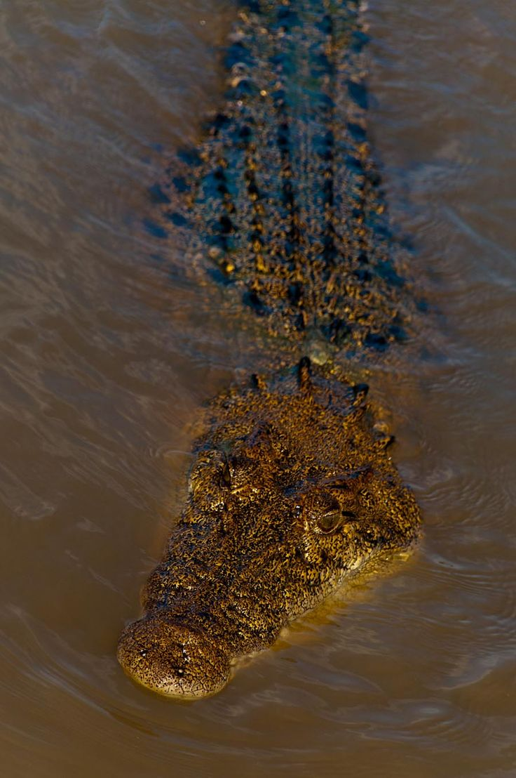 Salt water crocodile in Northern Teritory.