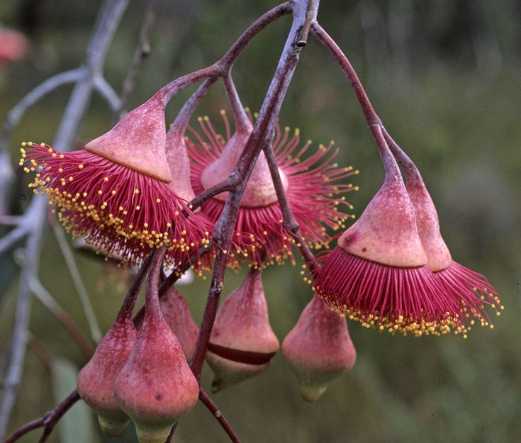 eucalyptus flowers - Google Search