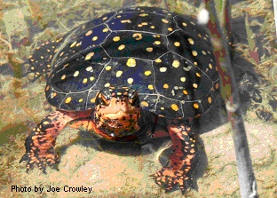 Spotted Turtle, one of the prized specimens I acquired through my mail-order trading.