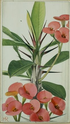 originele aquarel uit het #Verkade plaatjesalbum #Vetplanten