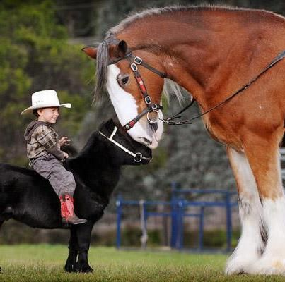Awe, huge Clydesdale horse meets little black pony and his faithful little cowboy.