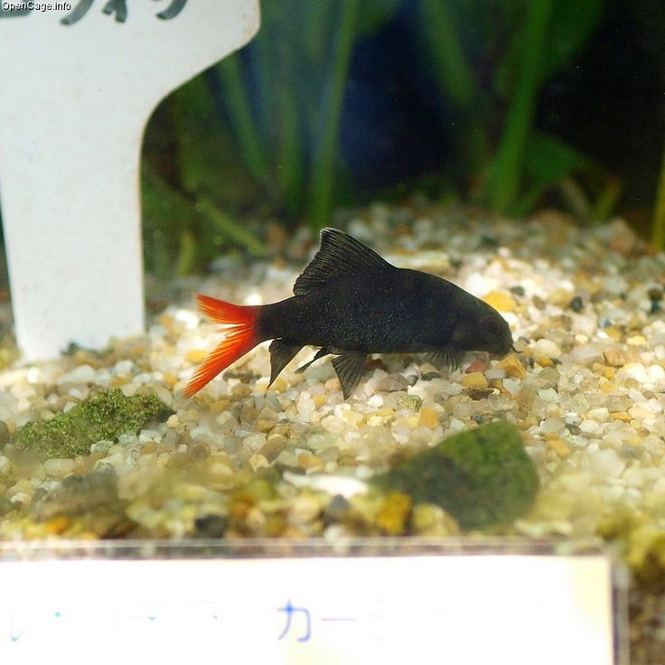 Common Freshwater Sharks for Aquariums