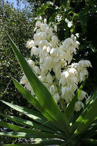 el salvador flower - Flor de Izote, no solo es la flor nacional, sino que además es comestible... ¡Ricaaa!