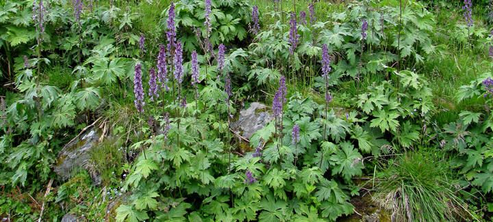 Aconitum Lycoctonum - Scandinavian Monkshood