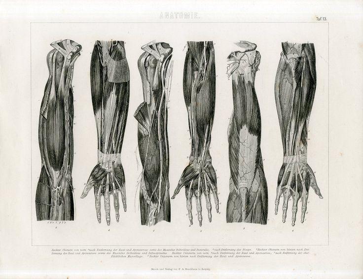 1846 F A Brockhaus Human Arm Anatomy