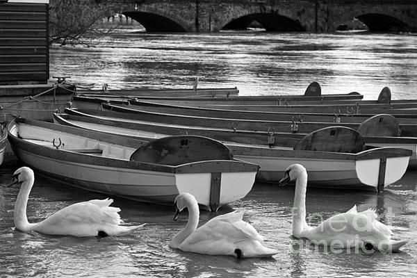 Swans on the flood river in Stratford Upon Avon...http://toula-mavridou-messer.artistwebsites.com/featured/new-photographic-art-print-for-sale-swans-in-row-black-and-white-toula-mavridou-messer.html