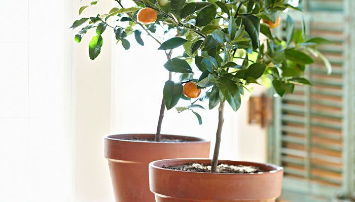 How to Grow Fruit Trees Indoors |