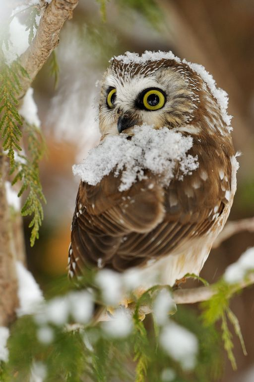 Lise De Serres: northern saw-whet owl; petite nyctale