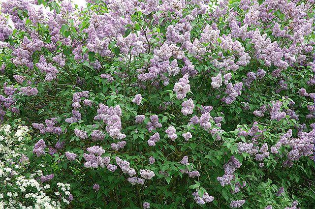 Bouturer le lilas est aisé et permet de le multiplier à bon compte au jardin. Toutes les étapes de cette multiplication en pas à pas.