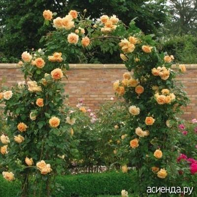 Плетистые розы — розы с длинными стелющимися или свисающими побегами, для роста которых совершенно необходима опора. Среди них имеются розы, цветущие один раз в год, а также ремонтантные, т. е...