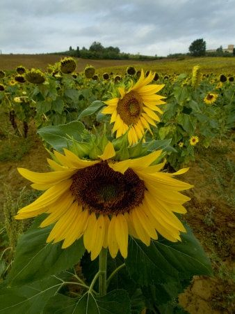 Close View of a Sunflower at the Edge of a Field of Sunflowers, Tuscany, Italy Photographic Print