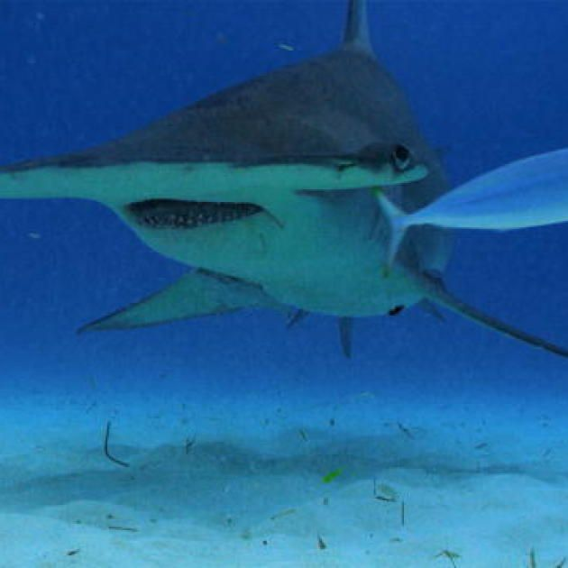23 best #SharkCam is JAWESOME images on Pinterest Sharks, Shark - copy coloring page of a tiger shark