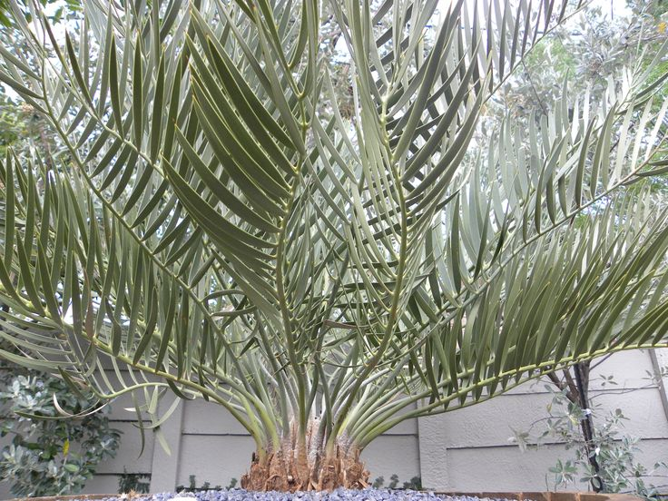 Encephalartos Dolomiticus Cycad - very rare