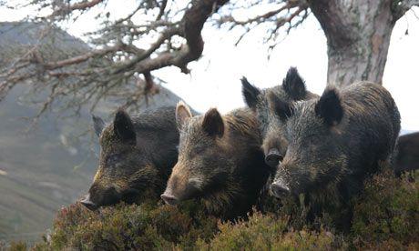 Wild boars, Scotland