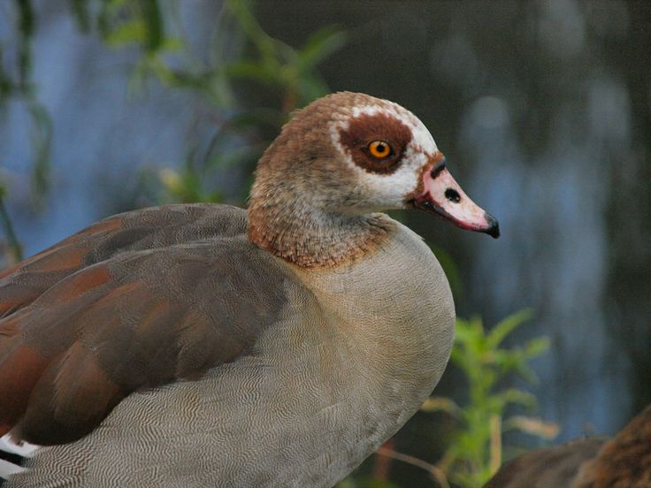 Egyptian Goose taken by Machiel van Niekerk at Austin Roberts bird sanctuary, Pretoria, South Africa