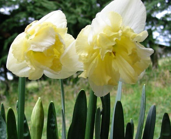 17 Best images about I love Daffodils on Pinterest May