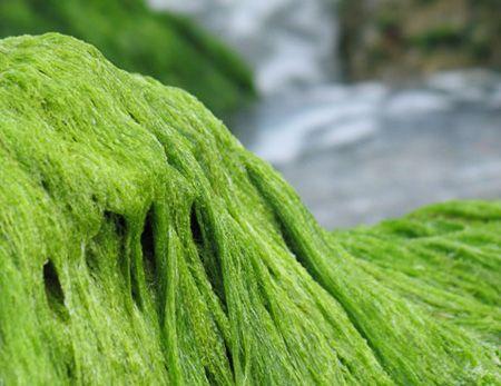 Спирулина – одно из уникальных и самых удивительных растений в мире. Ученые утверждают, что это единственное растение, умудрившееся прожить на нашей планете сотни млн. лет и секрет столь потрясающей живучести заключается в уникальном биохимическом составе.