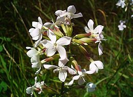 Orvosi szappanfű (Saponaria officinalis)