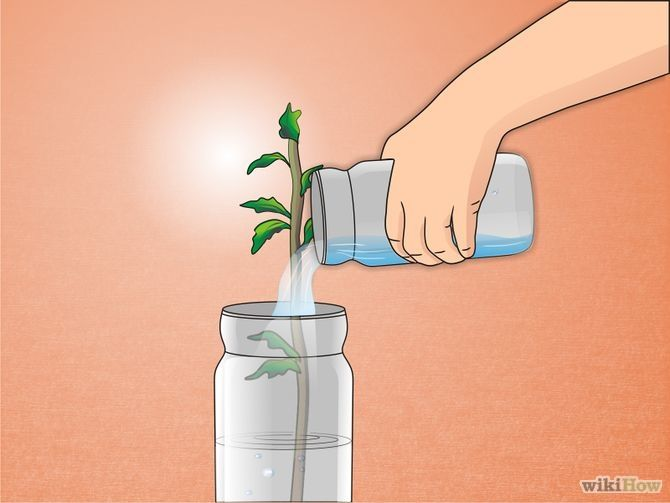 How to propagate your Rose of Sharon cuttings in water/compost!