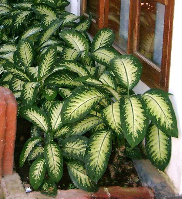 45 best gardening calathea stromanthe dieffenbachia for Planta ornamental venenosa dieffenbachia
