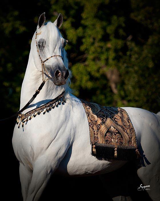 The beautiful, late Mishaal HP, a Straight Egyptian Arabian stallion.