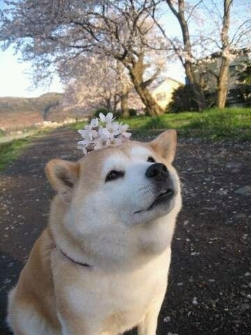flower shiba