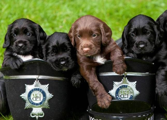 Five week old Sprocker puppies Trev, Ted, Tyler, Topsey, Trotter and Turvey at the West Midlands Police Dog Training Centre in Balsall Common, West Midlands. See NTI story NTIPUPS. The three boys and three girls are the forceís first Springer-Cocker Spaniel cross breed ø known as Sprockers - and are the latest addition to West Midlands Policeís dog breeding programme. At seven weeks old, the pups will be looking for homes with puppy walkers who will look after them until they are around a…