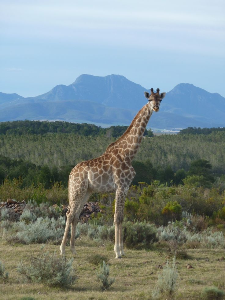 Giraffe at Gondwana Game Reserve, South Africa