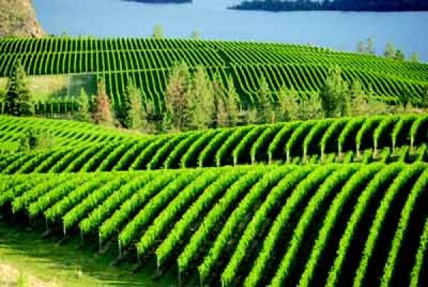 Vineyards -Okanagan Valley, One of the views i miss the most in the OK