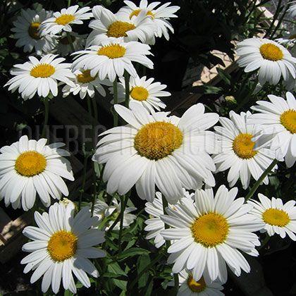 image de Leucanthemum x superbum Becky