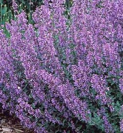 Cat Mint - A beautiful addition to any garden. This plant is perennial and requires very little  pruning. Perfect for a perennial rock garden!