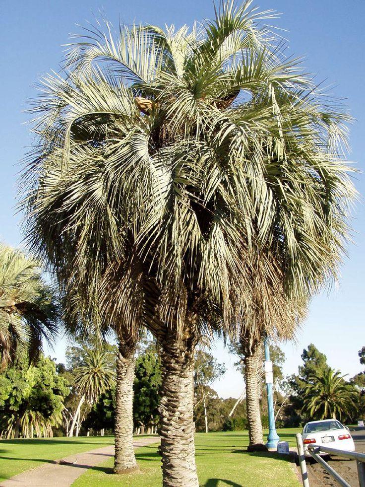 Buy Pindo Palms Butia Capitata Palmtrees Realpalmtrees