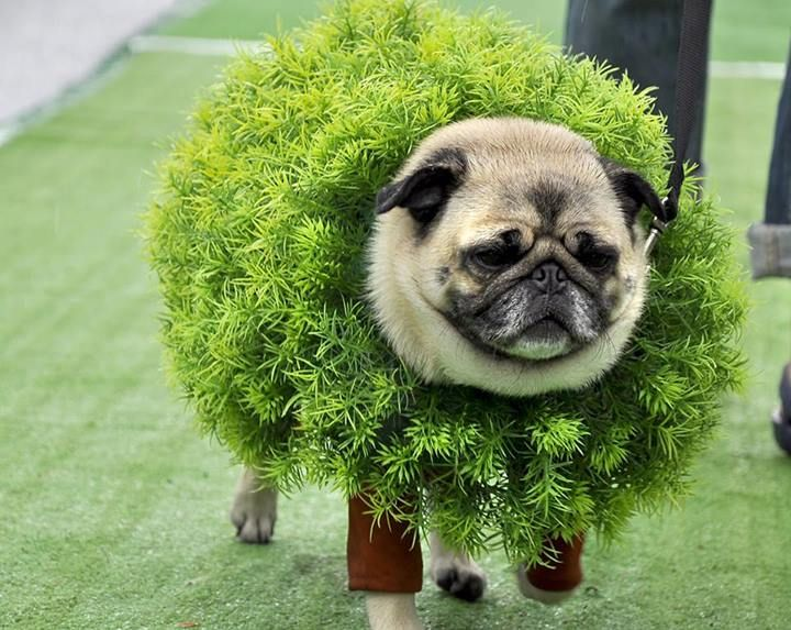 67 Best Pugs In Costumes Images On Pinterest