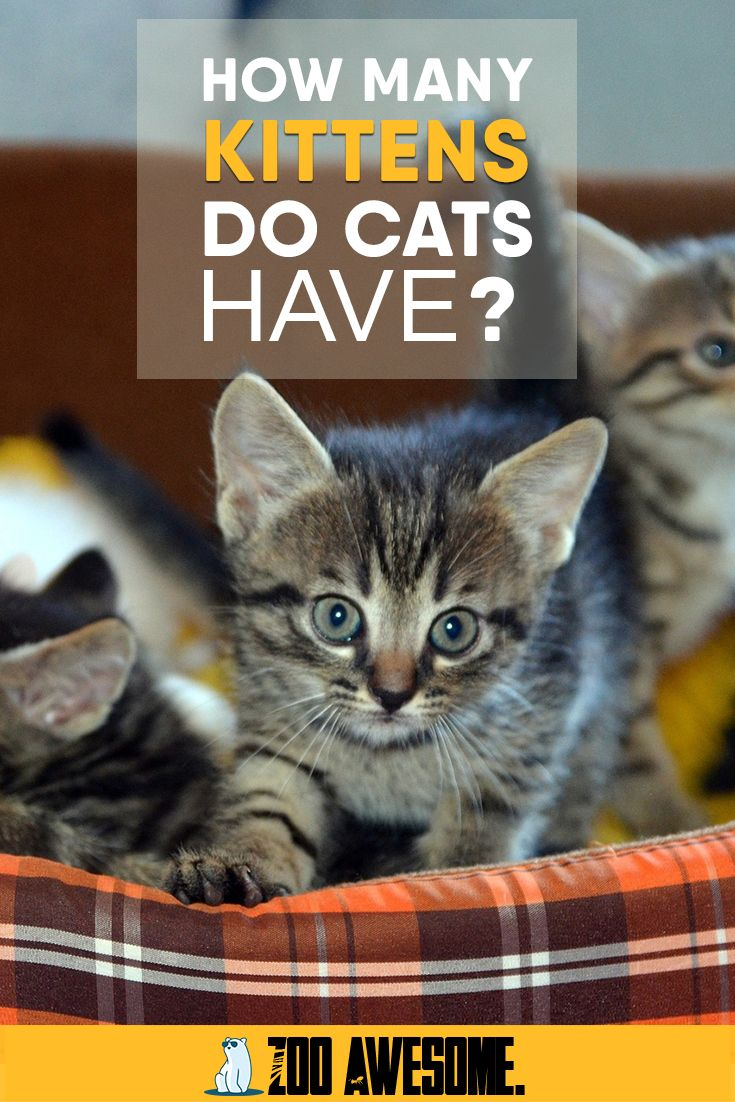 How Many Kittens Do Cats Have In 2020 Cats Cat Facts Kittens