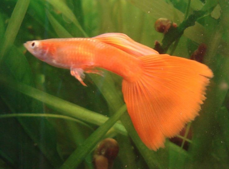 Orange male guppy guppy pinterest guppy fish and for Fish and tails