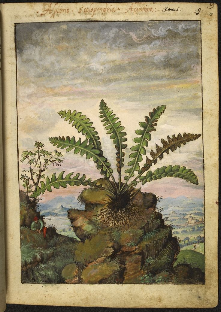 """Full page botanical painting of Asplenium scolopendrium or 'Argentina' (Silverweed) growing on a rock with a man in a hat sitting nearby and a mountain landscape with a walled town in the background. ""  Dioscorides' 'De re medica', by Pietro Andrea Mattioli, Physician of Siena, assembled and illustrated by Gherardo Cibo--ca. 1564-1584."
