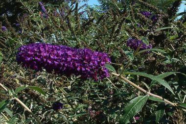 Vlinderstruik 'Black Knight'   De Buddleja davidii 'Black Knight' (Nederlandse naam: Vlinderstruik 'Black Knight') is een sterk opgaande haagplant die bloeit van juli tot oktober.