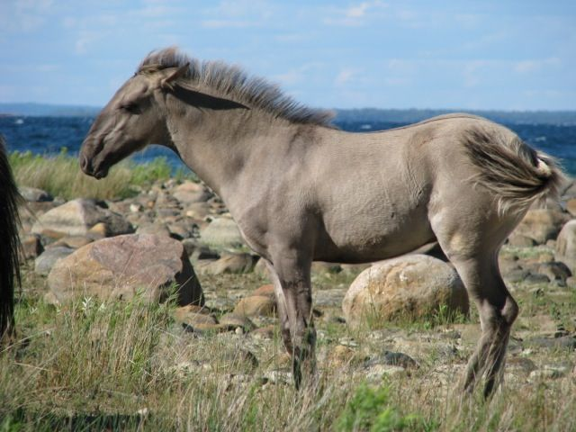 These 9 Rare And Beautiful Horses Are Like Nothing You've Ever Seen Before - The Sorraia Mustang http://www.wimp.com/beautifulhorses/