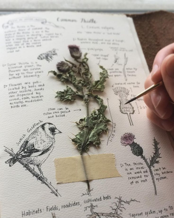 Began this perfectly rainy day with a pot of tea and another addition to my journal: Scotland's national flower, the Thistle. Legend has it that a sleeping party of Scottish Warriors were saved from a Norse ambush when one of the soldiers stepped on a thistle and cried out in pain. ☁️☕️☁️☕️☁️