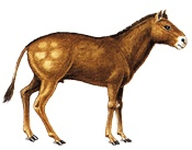 Mesophippus; Prehistoric ancestor to the modern horse.  40 million years ago.