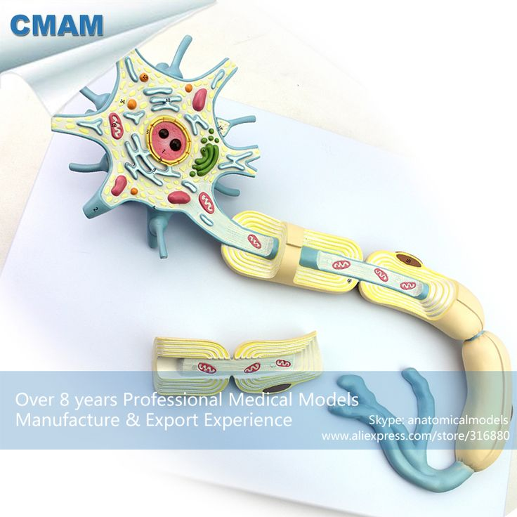 CMAM-BRAIN14 Magnified 2500x Human Typical Neuron Structure Model,  Medical Science Educational Teaching Anatomical Models
