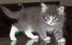 Maine Coon mix grey kitten is an adoptable Maine Coon Cat in Germantown, MD. Most adorable baby:�sweet, playful, funny�and loves people.�� He is available through our Foster-to-Adopt program.� See our...