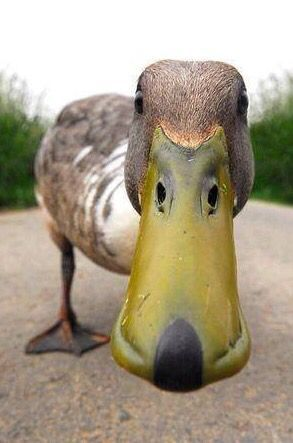 Hello there! - No, a duck is not four legged but who could resist pinning that face?