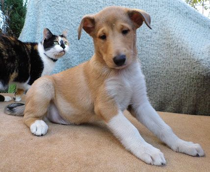 Smooth Collie puppies and older dogs for sale in the UK and Europe