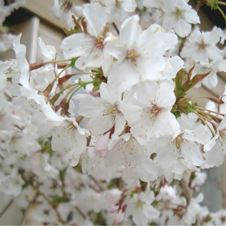 Prunus Incisa Mikinori Tree Flowering Cherry Tree Cherry Blossom Tree Prunus