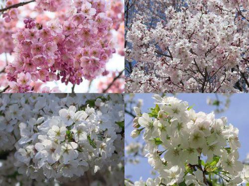 さまざまな桜の花を紹介していきます。まずは、皇居東御苑から。 左上は密集して咲く椿寒桜、右上はおととい遠景で紹介した越の彼岸桜、左下は白い桜の天城吉野、右下はこちらも純白の桜、薄毛大島です。
