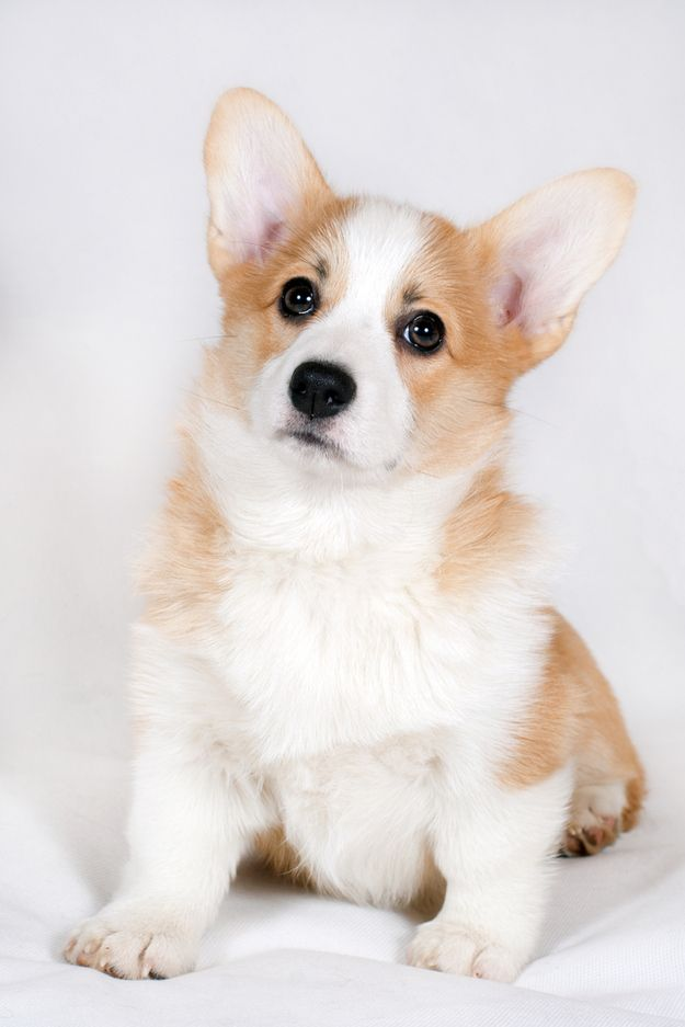 A breed is considered endangered when it has fewer than 300 puppy registrations per year, and by early December, corgis had only 301. | The Pembroke Welsh Corgi Could Soon Be An Endangered Breed